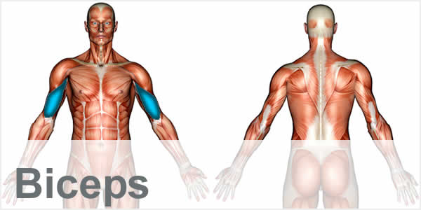 A muscular anatomy diagram with the bicep muscles highlighted.