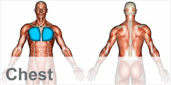A muscular anatomy diagram with the chest muscles highlighted.