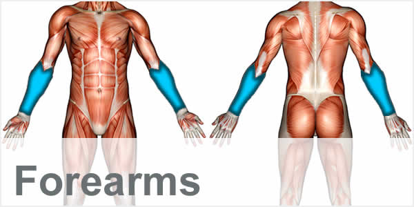 A muscular anatomy diagram with the forearm muscles highlighted.