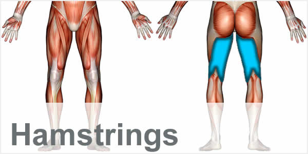 A muscular anatomy diagram with the hamstring muscles highlighted.