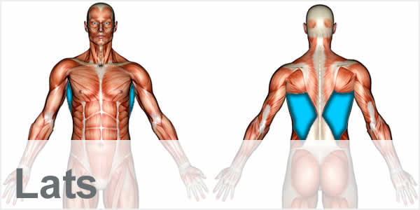 A muscular anatomy diagram with the latissimus dorsi muscles highlighted.