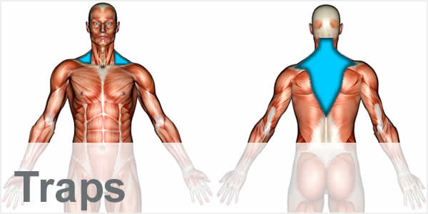 A muscular anatomy diagram with the trapezius muscles highlighted.