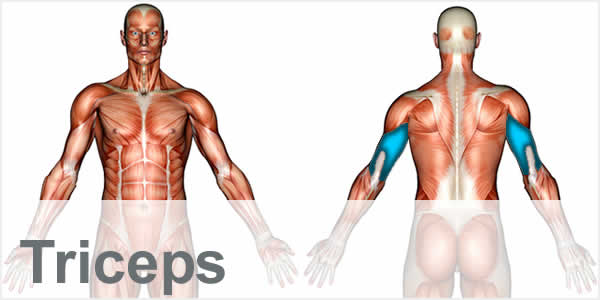 A muscular anatomy diagram with the tricep muscles highlighted.
