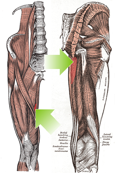 an anatomical image of the adductor magnus muscle