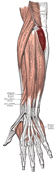 an anatomical image of the anconeus muscle