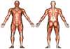 thumbnail image of a diagram of the human muscular system anatomy