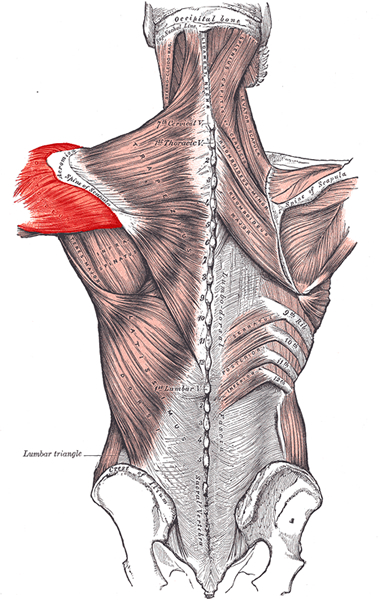 an anatomical image of the deltoid muscle