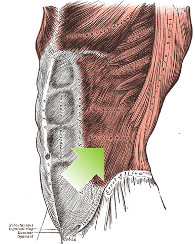 an anatomical image of the external oblique muscle