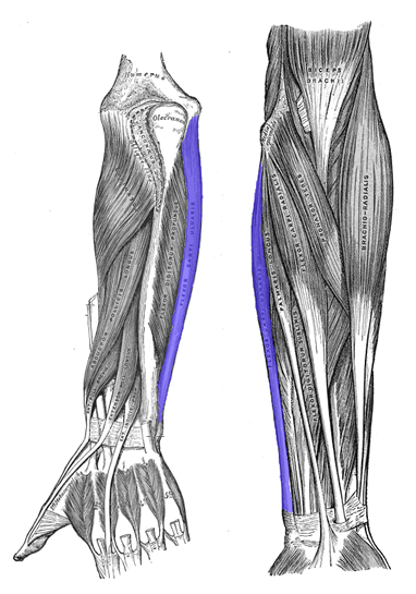 an anatomical image of the flexor carpi ulnaris muscle
