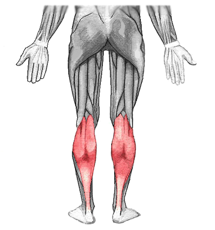 an anatomical image of the gastrocnemius muscle