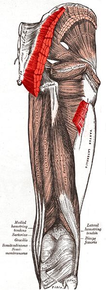 an anatomical image of the gluteus maximus muscle