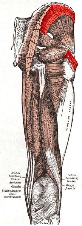 an anatomical image of the gluteus medius muscle