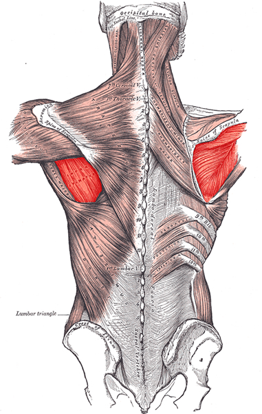 an anatomical image of the infraspinatus muscle
