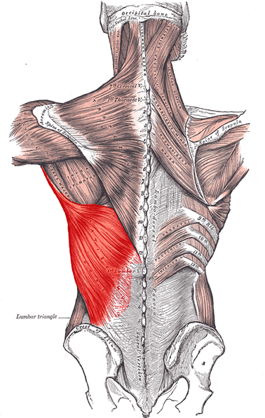 an anatomical image of the latissimus dorsi muscle