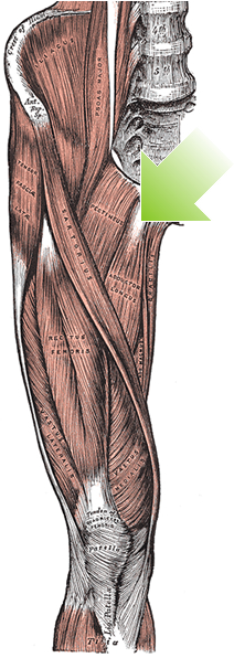 an anatomical image of the pectineus muscle