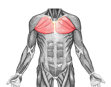an anatomical image of the pectoralis major muscle