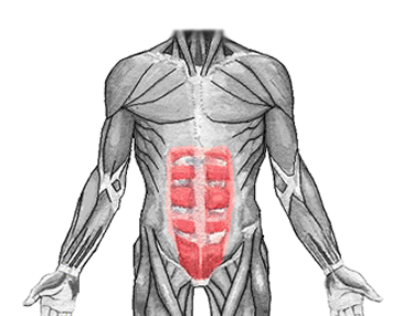 an anatomical image of the rectus abdominis muscle