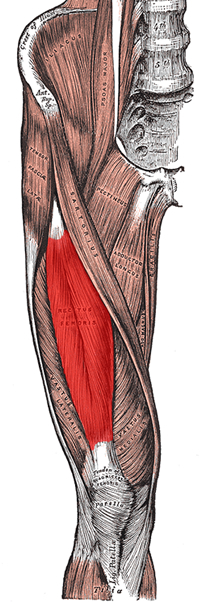 an anatomical image of the rectus femoris muscle