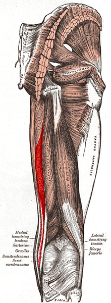 an anatomical image of the semimembranosus muscle