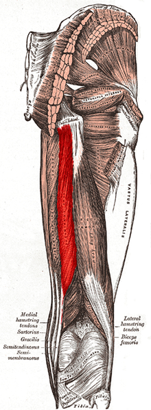 an anatomical image of the semitendinosus muscle