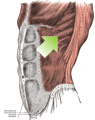 an anatomical image of the serratus anterior muscle