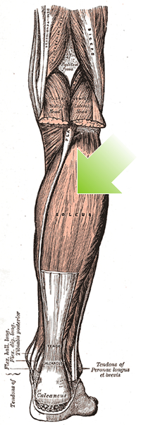 an anatomical image of the soleus muscle