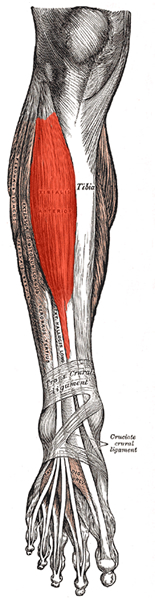 an anatomical image of the tibialis anterior muscle