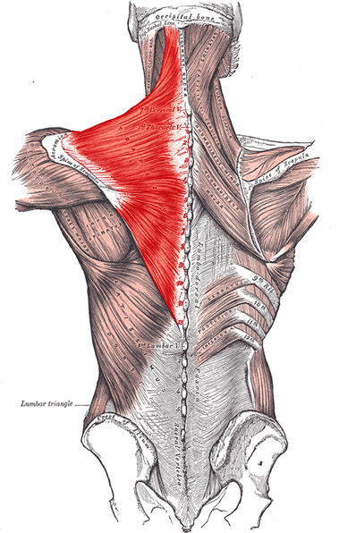 an anatomical image of the trapezius muscle