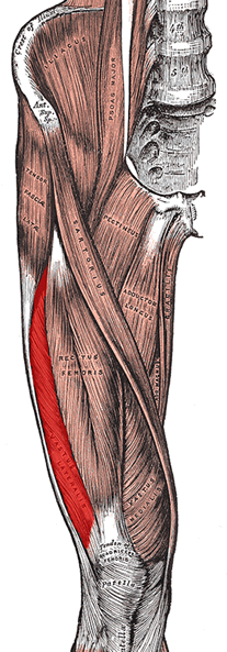 an anatomical image of the vastus lateralis muscle
