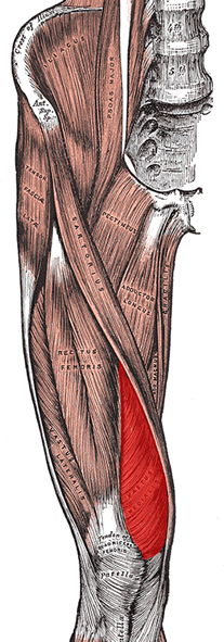 an anatomical image of the vastus medialis muscle
