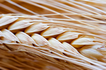 a thumbnail image of wheat